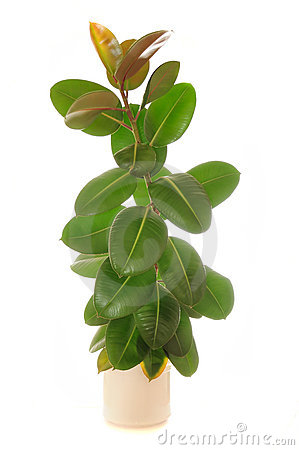 Free Ficus Elastica (Rubber Plant) In Pot Royalty Free Stock Photos - 15718478