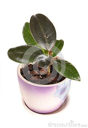The ficus grows in a pot