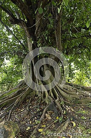 Ficus in habitation Clement