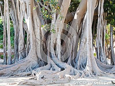 Ficus magnolioide in Giardino Garibaldi, Palermo