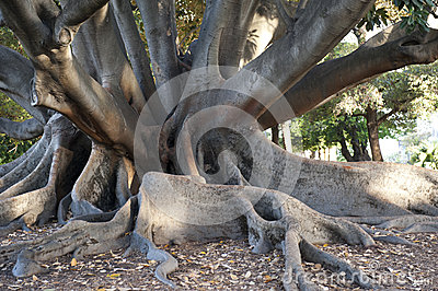 Ficus in Perth, Australien