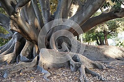 Ficus in Perth, Australien