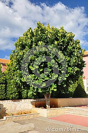 Ficus tree.