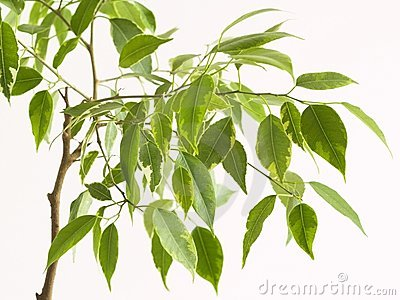 Ficus tree, close-to