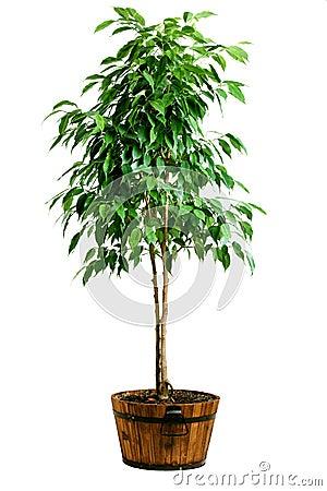 Free Ficus Tree In Pot Stock Image - 17733191