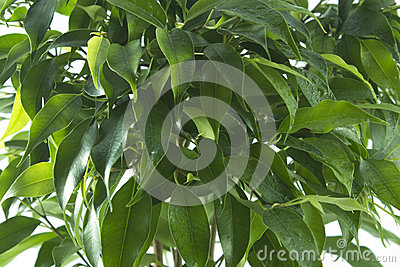 Ficus tree leaves background Stock Photo
