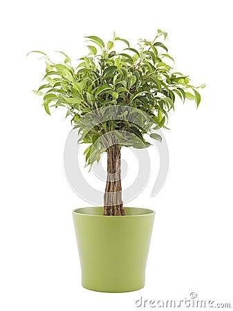 Ficus w zielonym garnku Benjamin
