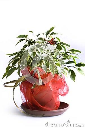 Ficusbaum