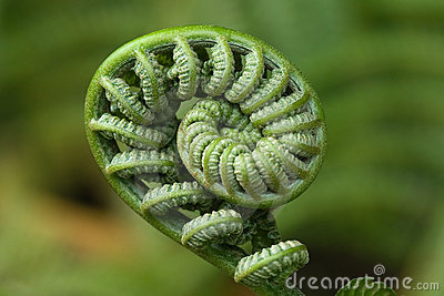Fiddlehead Macro