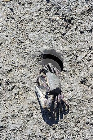 Free Fiddler Crab (Uca Tangeri) Stock Image - 12976611