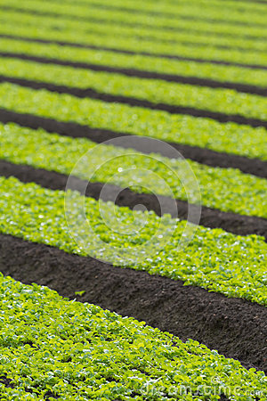 Field of baby lettuce leaf salad plants