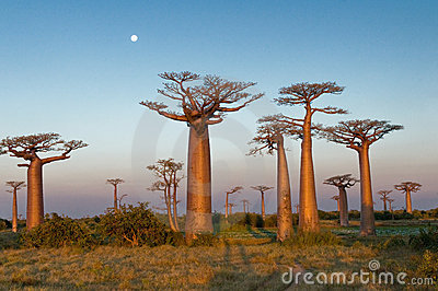Field Of Baobabs Stock Photos - Image: 15523383