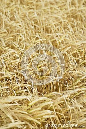 Field of Barley (Hordeum vulgare).