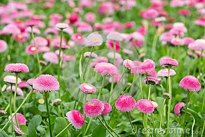Field of bellis with selective focus