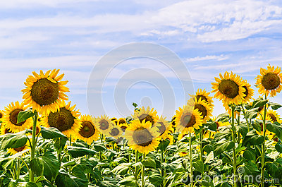The field of blooming sunflowers