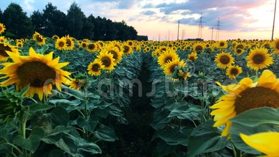 A field of blooming sunflowers with a beautiful sunset on the background. stock footage