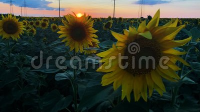 A field of blooming sunflowers with a beautiful sunset on the background. stock video footage