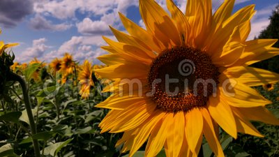 A field of blooming sunflowers on a sunny day. stock video footage