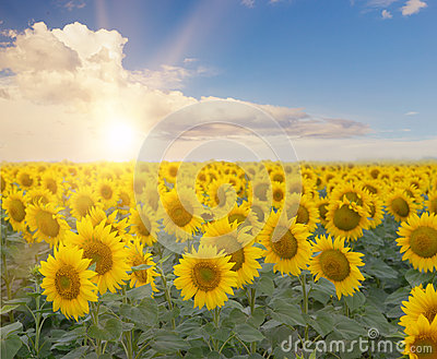 Field Of Blooming Sunflowers Stock Photo Image 59113777