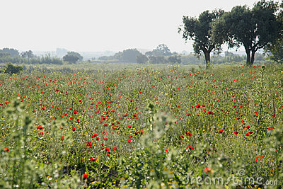 Field with blossoming poppies.