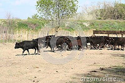 Field of Bulls.