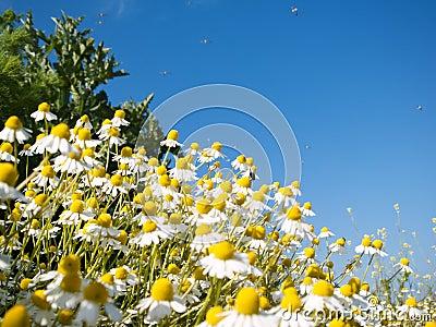 Field of camomile