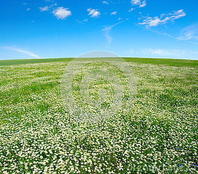 Field of camomiles