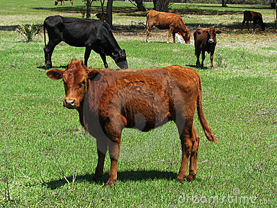Field on cattle
