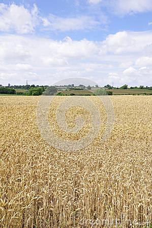 Field of Cereal Crops