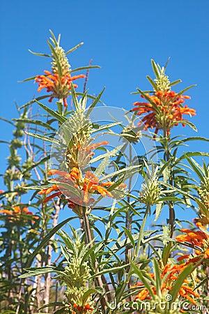 Field of colorful wild Leonotis flowers