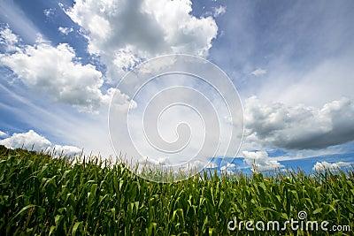 Field of Corn, Blue Sky and Clouds, Farm Cornfield
