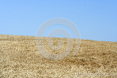 A field of corn