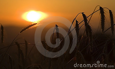 Field of Corn in Sunrise