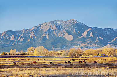 Field of Cows by a Mountain in Winter