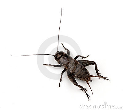 Free Field Cricket Royalty Free Stock Image - 17642946