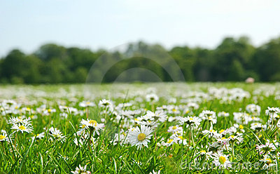 Field with daises
