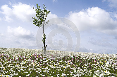 Field with daisies and lychnis .
