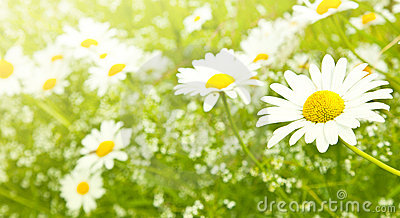 Field daisy flowers
