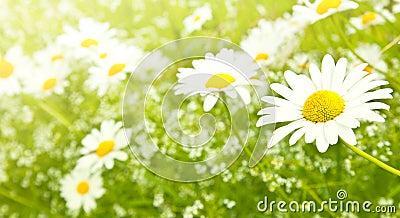 Field daisy flowers