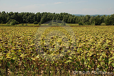 Field of Drying Sunflowers