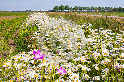 Field edge with colorful wildflowers