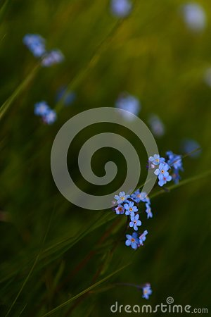 field flower forget-me-not Stock Photo