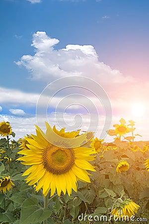 Field  flower  sunflower   sunset