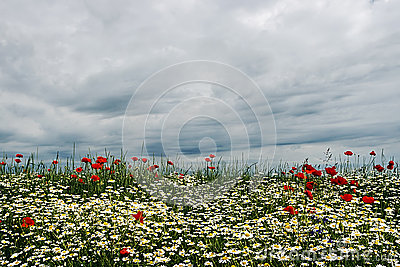 Landscape with poppies and chamomile-4