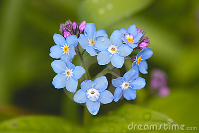 Field Forget-me-not Stock Photo