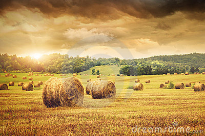Field of freshly bales of hay