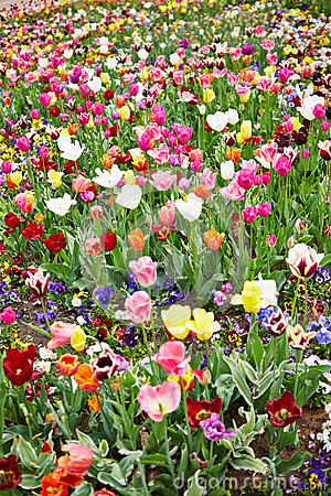 Field full of flowers and tulips