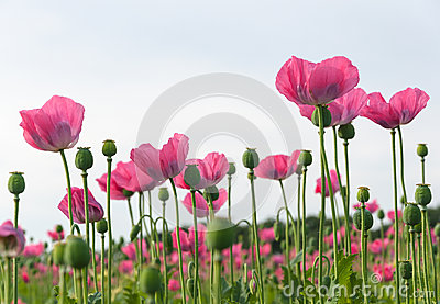 Field full of pink poppies