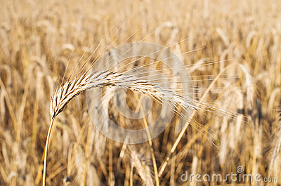 Field of golden grain