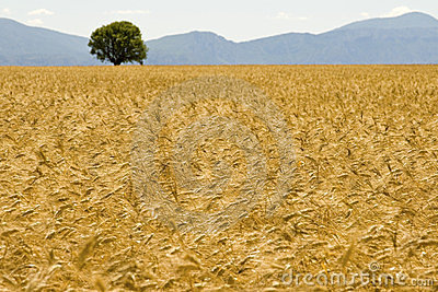Field, golden with mountain.